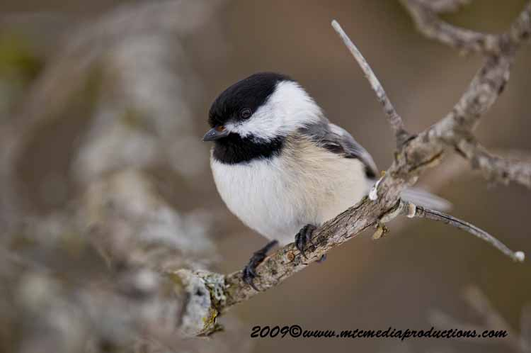Chickadee Picture-157