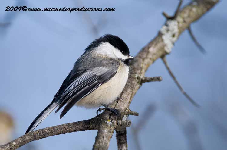 Chickadee Picture-158