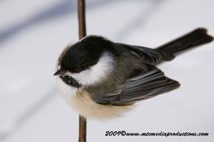 Chickadee Picture-159