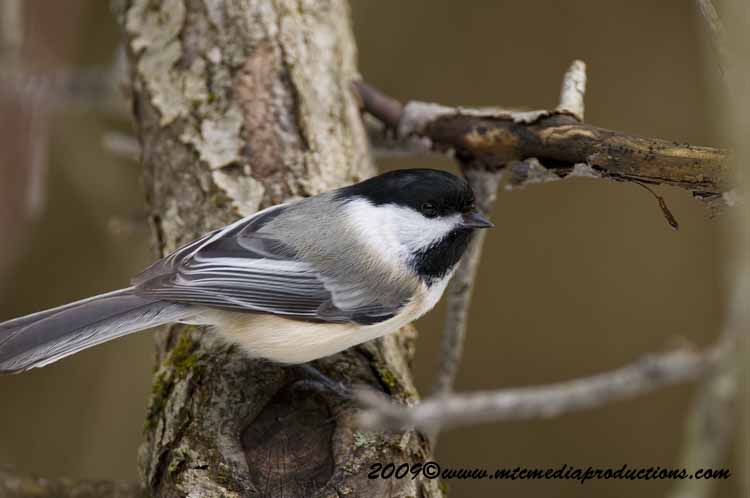 Chickadee Picture-160