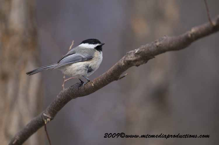 Chickadee Picture-161