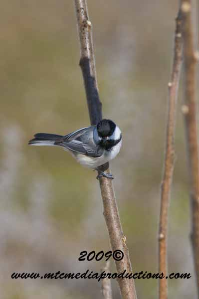 Chickadee Picture-162
