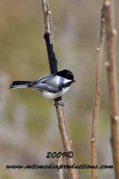 Chickadee Picture-163