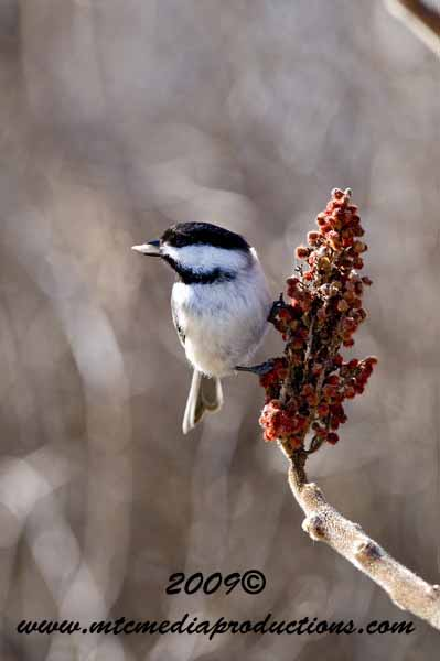 Chickadee Picture-164