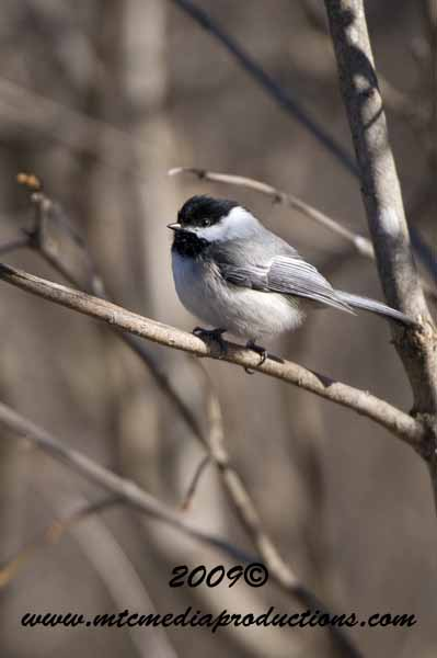 Chickadee Picture-165