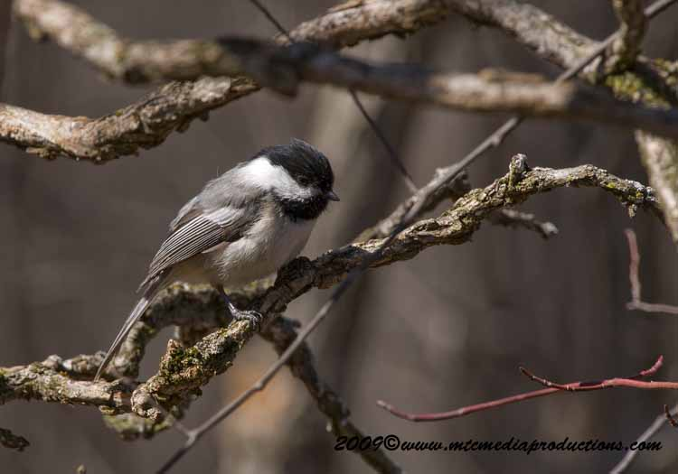 Chickadee Picture-166