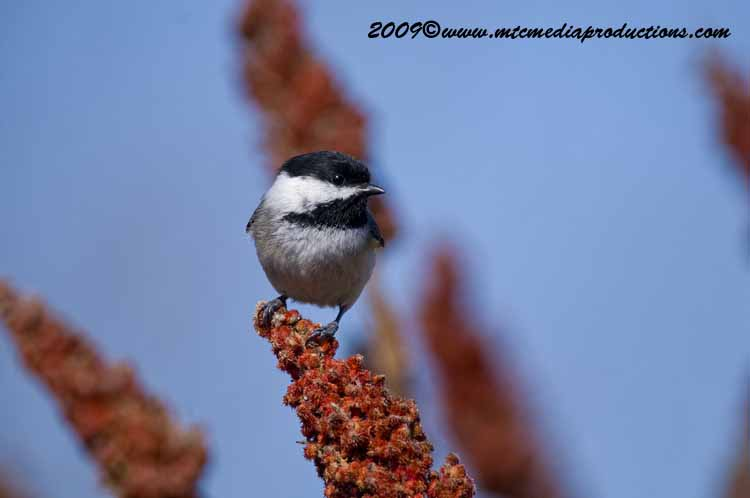 Chickadee Picture-167