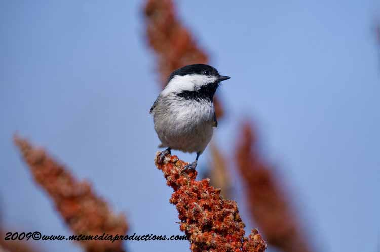 Chickadee Picture-168