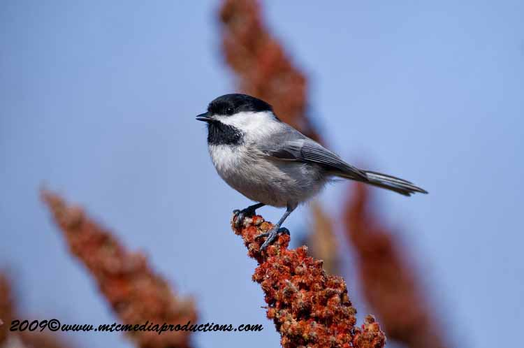 Chickadee Picture-169