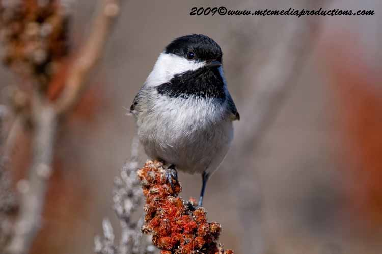 Chickadee Picture-170