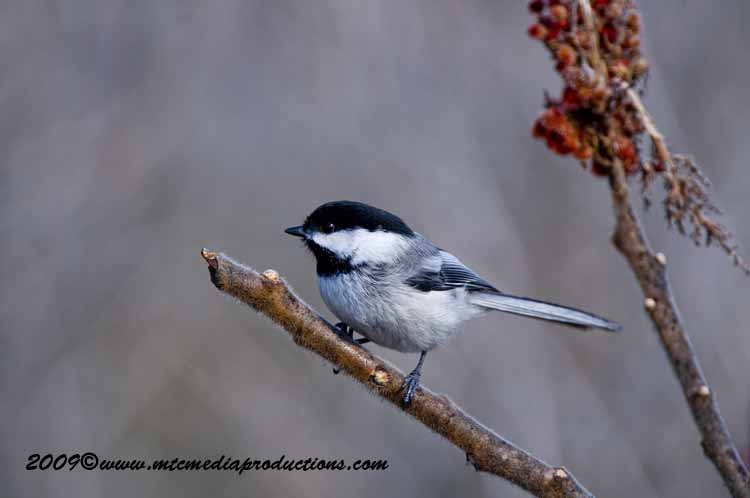 Chickadee Picture-171