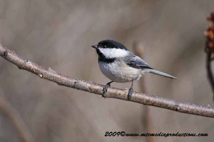 Chickadee Picture-172