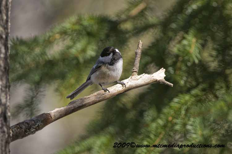 Chickadee Picture-174