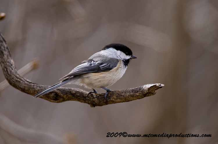 Chickadee Picture-175