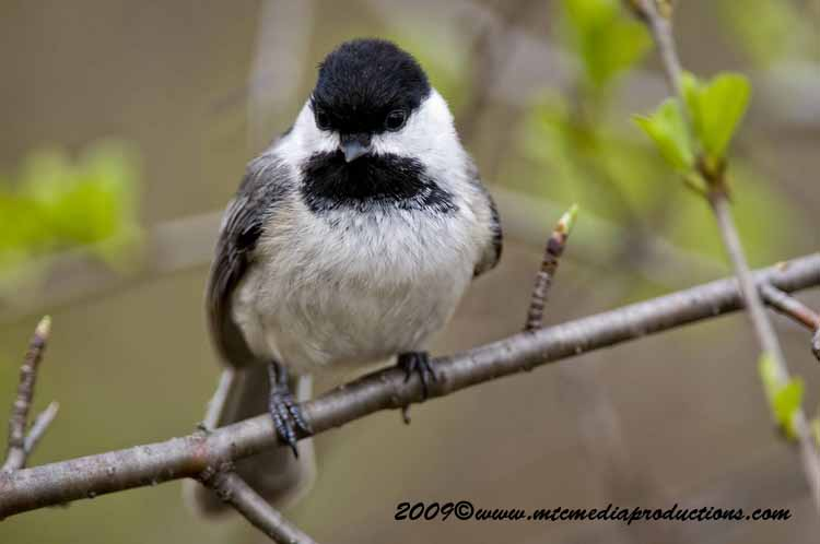 Chickadee Picture-176