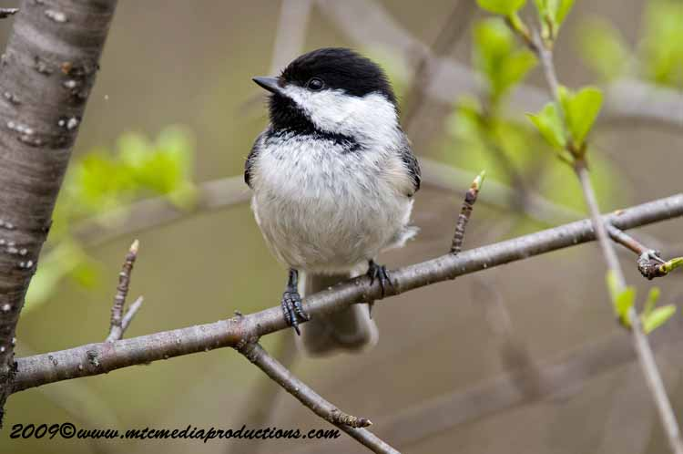 Chickadee Picture-177