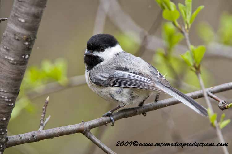 Chickadee Picture-178