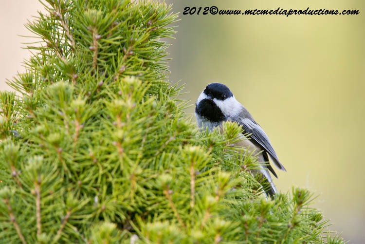 Chickadee Picture-483