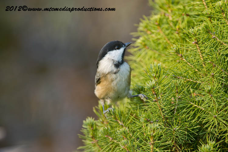 Chickadee Picture-484
