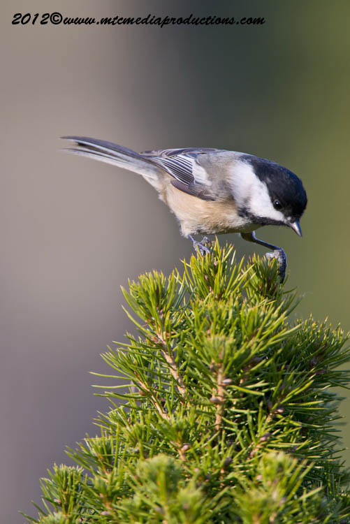 Chickadee Picture-485