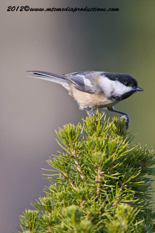 Chickadee Picture-486