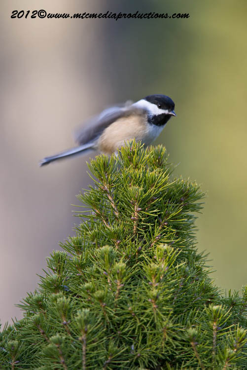 Chickadee Picture-487
