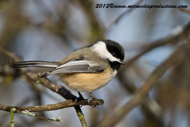 Chickadee Picture-488