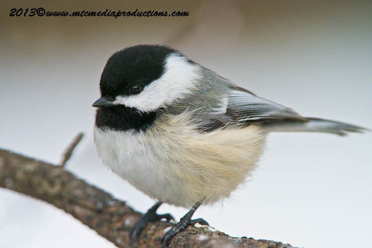 Chickadee Picture-489