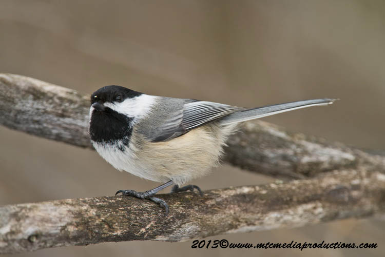 Chickadee Picture-490