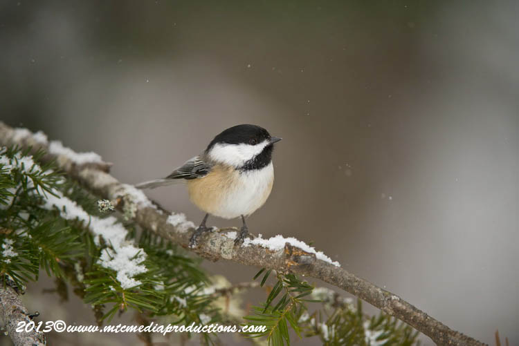 Chickadee Picture-491