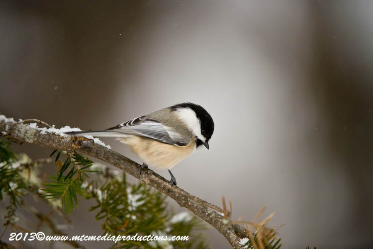 Chickadee Picture-492