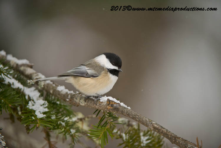 Chickadee Picture-493