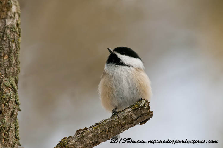 Chickadee Picture-494