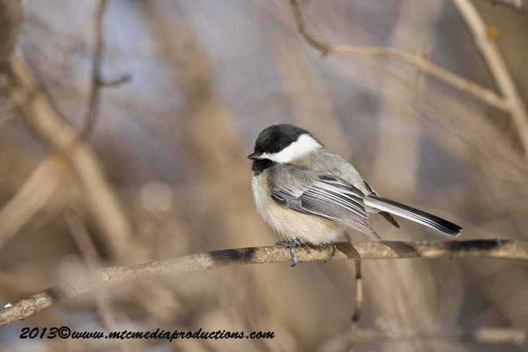 Chickadee Picture-495