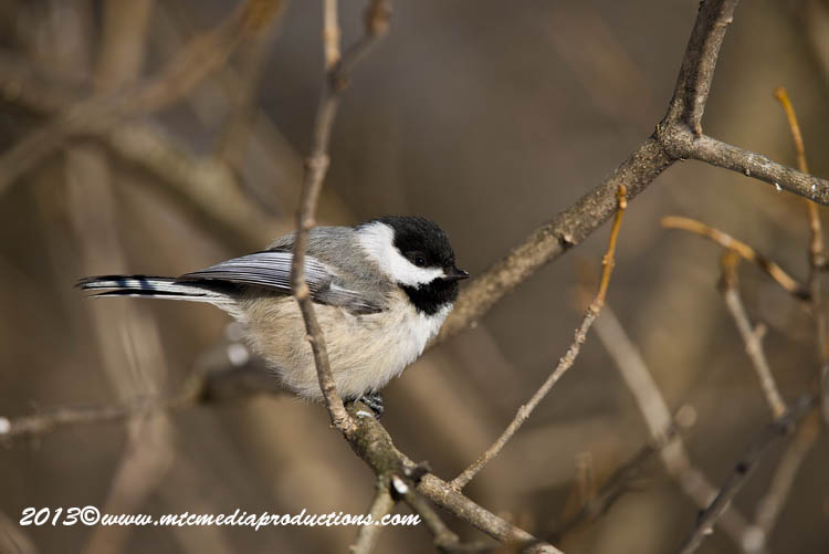 Chickadee Picture-496