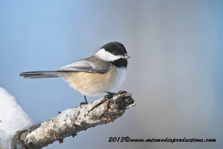 Chickadee Picture-497