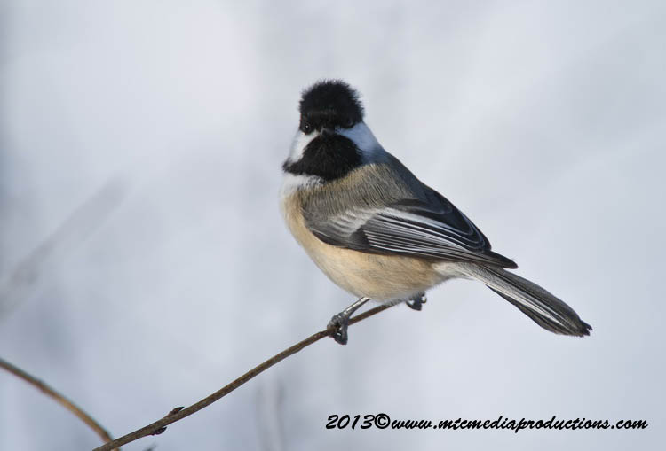 Chickadee Picture-498