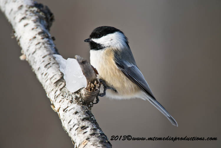 Chickadee Picture-499