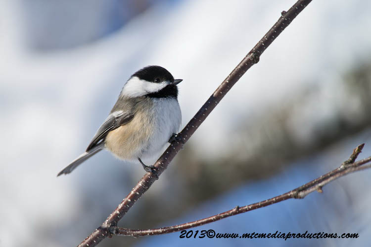Chickadee Picture-500