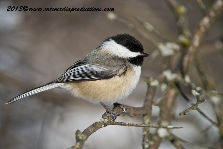 Chickadee Picture-501