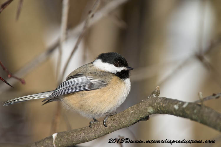 Chickadee Picture-502