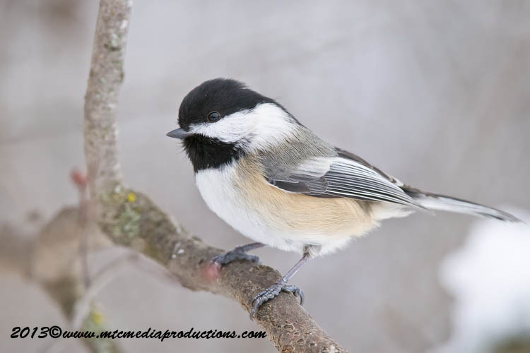 Chickadee Picture-503