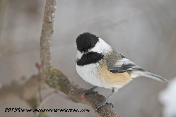 Chickadee Picture-504