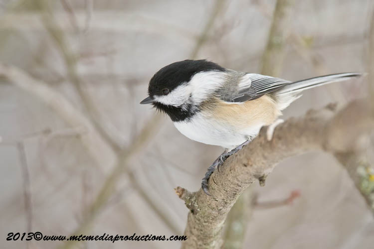 Chickadee Picture-505