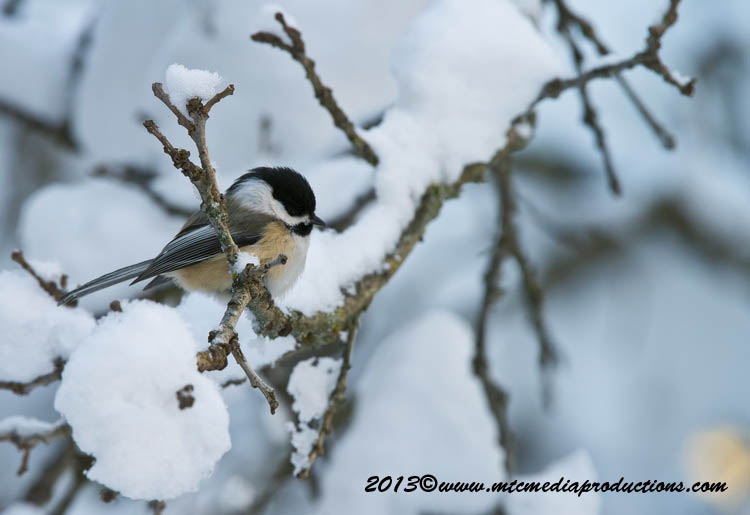 Chickadee Picture-506