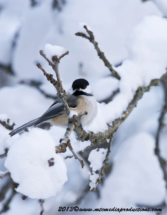 Chickadee Picture-507