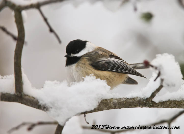 Chickadee Picture-509