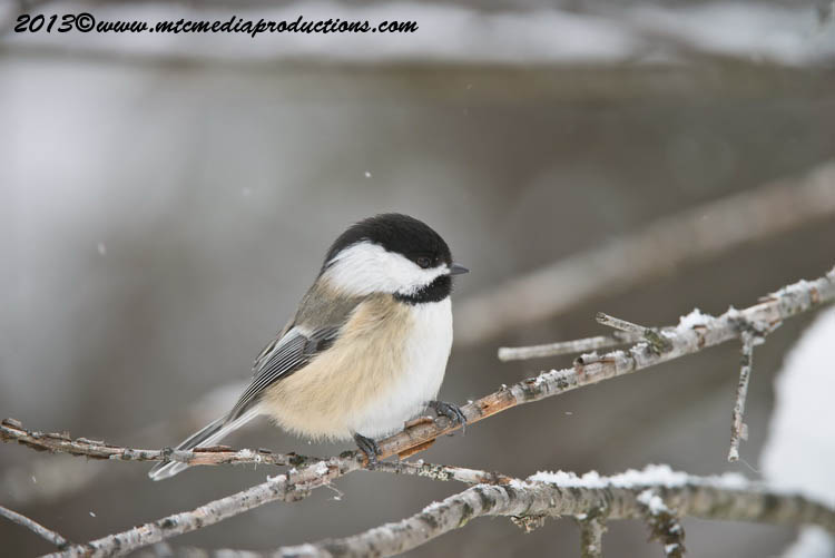 Chickadee Picture-510