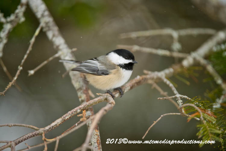Chickadee Picture-511