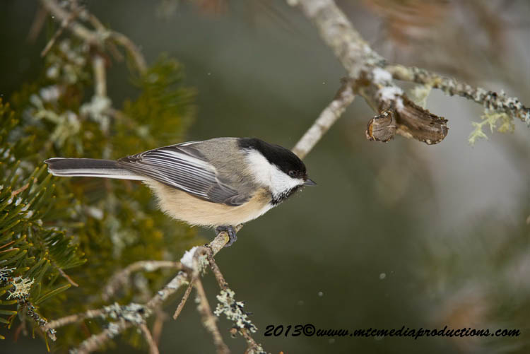 Chickadee Picture-512